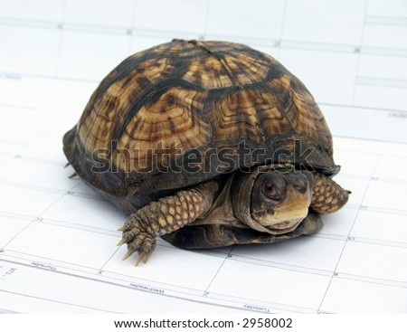 Japanese Box Turtle Walking on a Calendar