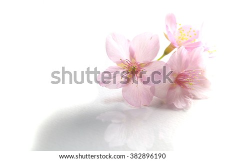 Japanese cherry blossom flowers in the white #2 - stock photo