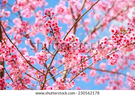 Japanese cherry blossom in spring - stock photo