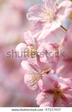 Japanese cherry blossom, low angle view