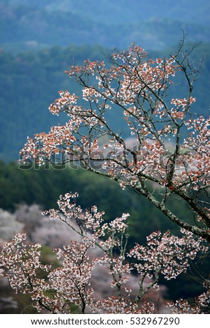 Japanese cherry blossom on Mount Yoshino, Kansai, Japan