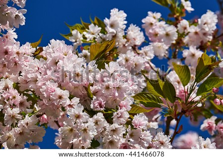 Japanese cherry blossom on the tip of some twigs of a tree, with a clear blue sky as a background - stock photo
