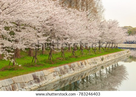 Japanese Cherry Blossoms Trees (Sakura) and its reflection on the moat of Osaka Castle (Osaka-jo), Osaka, Kansai region, Japan.