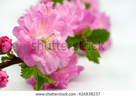 Japanese cherry flowers isolated macro