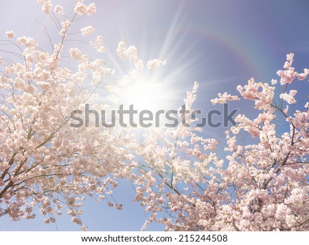 Japanese cherry trees and lightreflections - stock photo