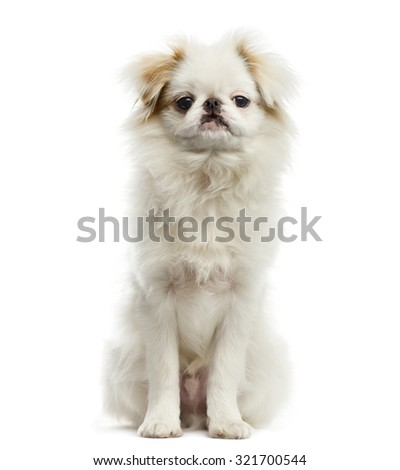 Japanese Chin in front of a white background - stock photo