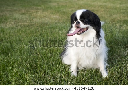 Japanese Chin sitting in the grass with his tongue out.