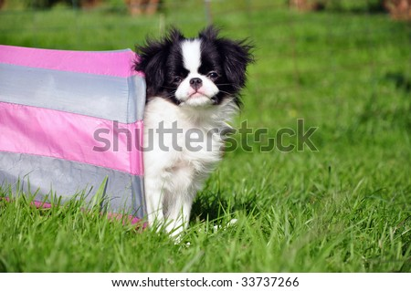 japanese chin standing in a tunnel