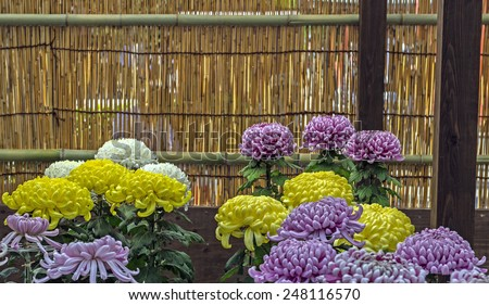Japanese chrysanthemums on display at the Asakusa Kannon Buddhist temple in Tokyo, Japan - stock photo