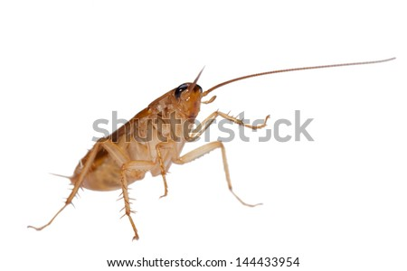 Japanese cockroach isolated - stock photo