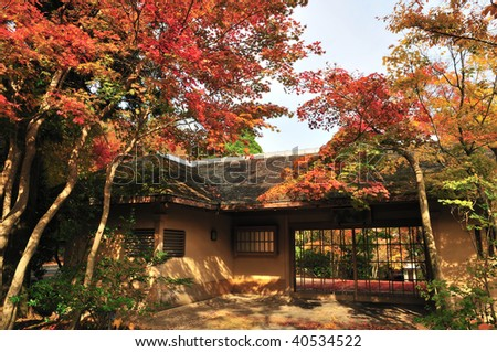 Japanese colored maple tree