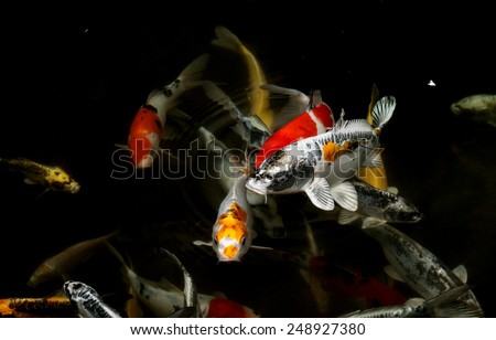 Japanese colorful koi swimming in a pond - stock photo
