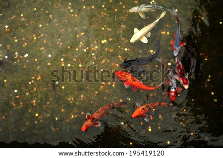 Ornamental fish stock images royalty free images for Japanese ornamental fish