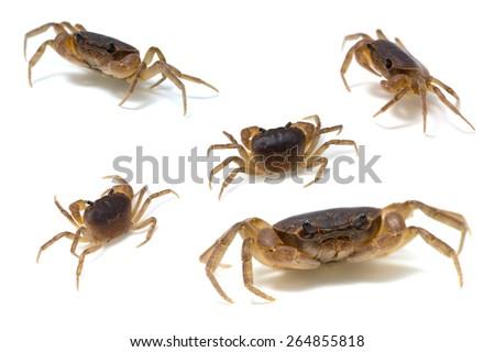 Japanese Freshwater Crab-Geothelphusa dehaani, on white background.  - stock photo