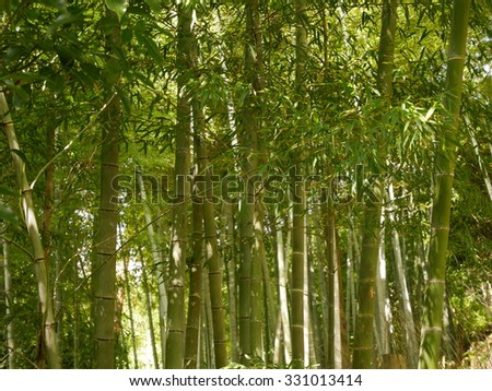 Japanese green bamboo forest