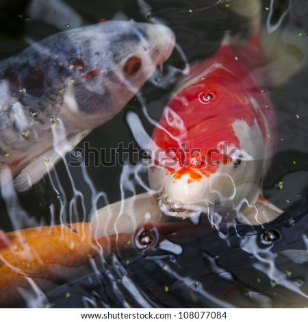 Japanese Koi - stock photo