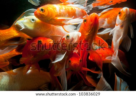Japanese koi fish underwater