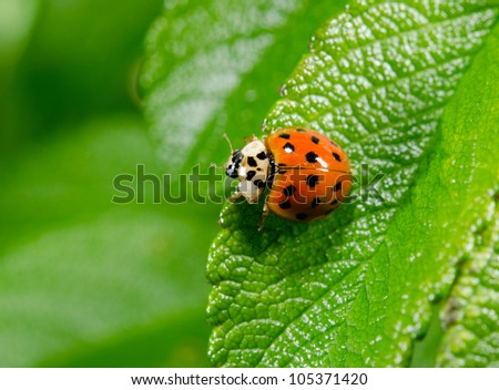 japanese lady beetle from above, macro - stock photo