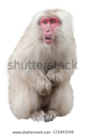 Japanese Macaque isolated on a white background