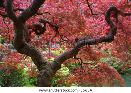 Japanese Maple - stock photo