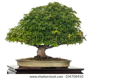Japanese maple (Acer palmatum kiyohime) as bonsai tree is white isolated