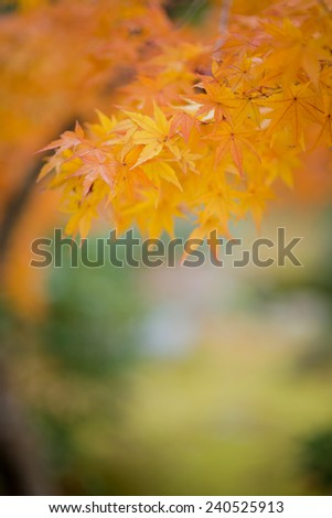 Japanese maple during autumn in Japan