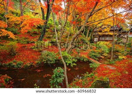 Japanese maple during fall in Kyoto,Japan - stock photo