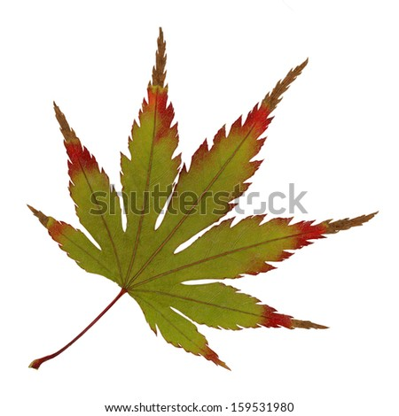 Japanese maple leaf stock images royalty free images Japanese maple leaf
