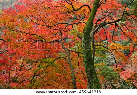 Japanese maple leaf tree, momiji autumn landscape in Japan  - stock photo