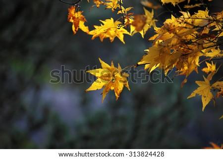 Japanese maple leaves - stock photo