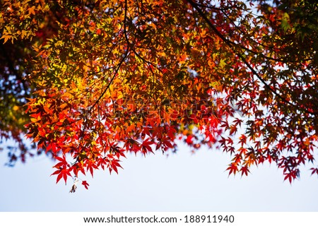 Japanese maple leaves in autumn, isolated with selective focus - stock photo