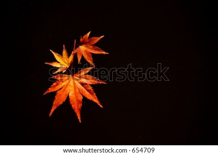 Japanese Maple Leaves on Water - stock photo