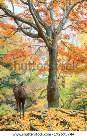 Japanese maple tree and deer in autumn with yellow ginkgo leaves on forest floor.
