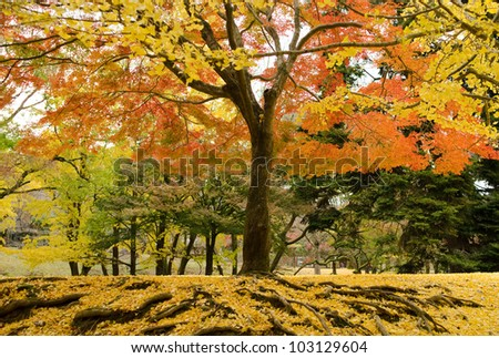 Japanese maple tree in autumn with yellow ginkgo leaves on forest floor - stock photo