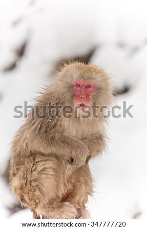 Japanese monkey of the unique expression - stock photo