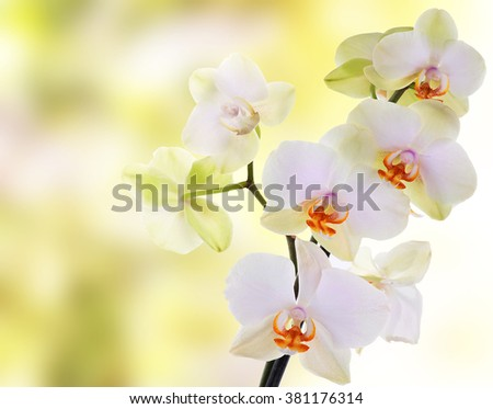 japanese Orchid - stock photo