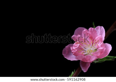 Japanese peach blossom on black