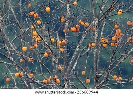 Japanese persimmon on a tree in winter, retro style - stock photo