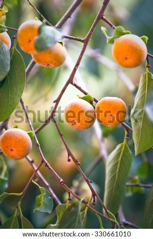 Japanese persimmon tree ( kaki ) with fruits. - stock photo