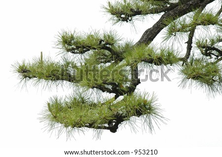 japanese pine tree - stock photo