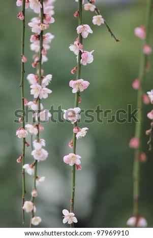 Japanese pink plum blossom , close up shot - stock photo