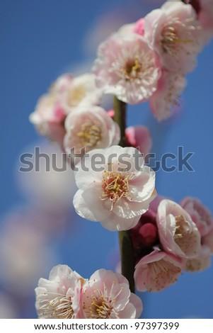 Japanese plum blossom - stock photo