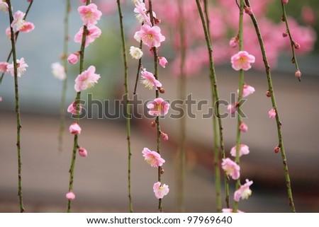 Japanese plum blossom in shrine - stock photo