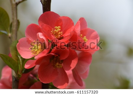 Japanese quince blossoming branch