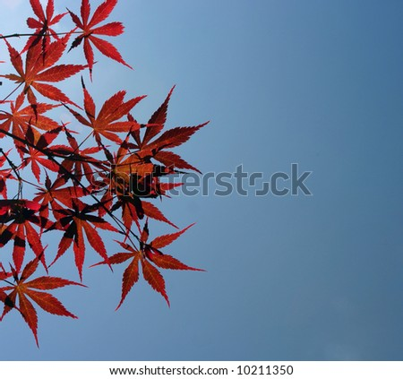 Japanese red maple leaves backlit against a blue sky with room for text