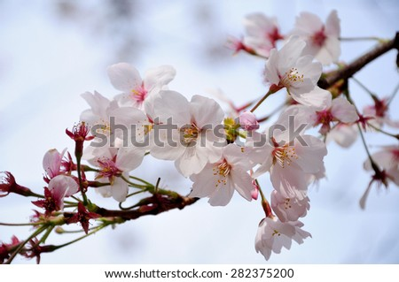 "Japanese's beautiful flower called ""cherry - Sakura"""