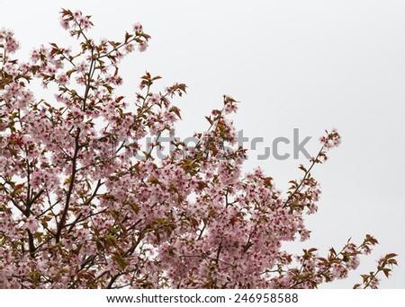 japanese sakura and blue sky - stock photo