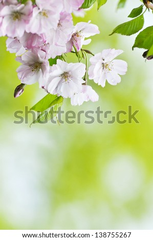 Japanese sakura blossom background with place for text