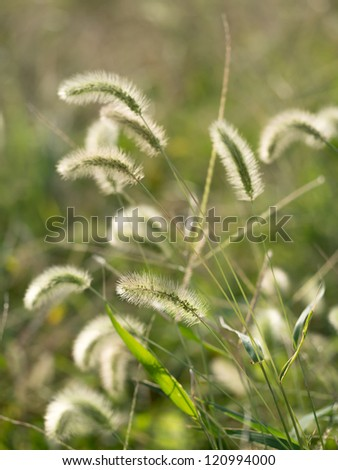 Japanese setaria - stock photo