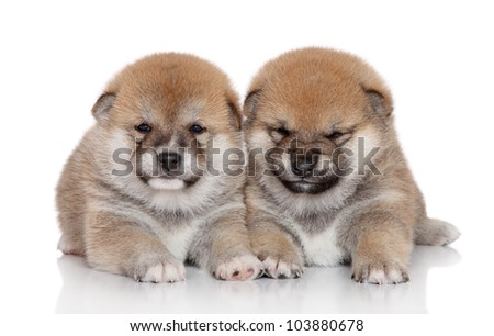 Japanese Shiba Inu puppies (month) on white background